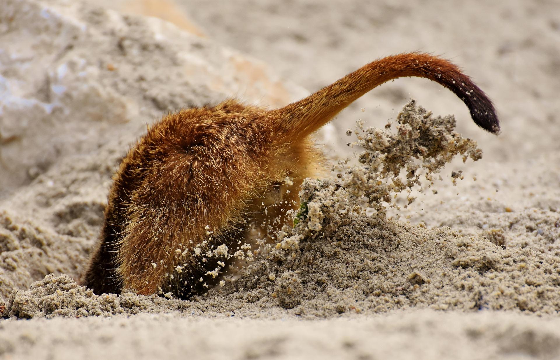 Do meerkats eat meat?