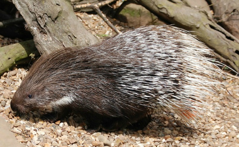 can porcupines shoot their quills
