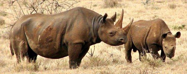 rhino poaching trends