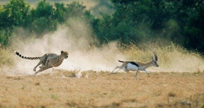 cheetah information facts