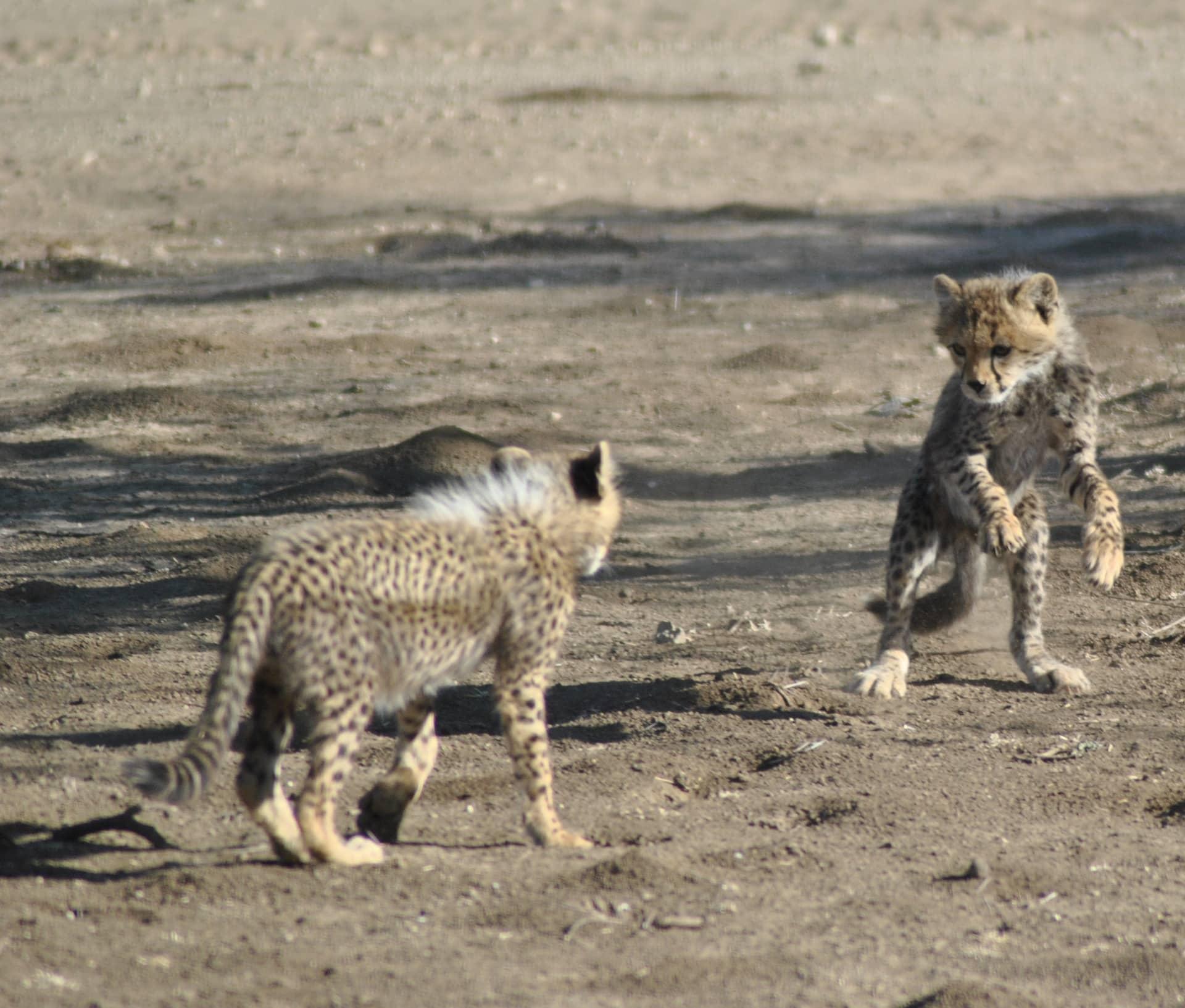 cheetah cubs playing