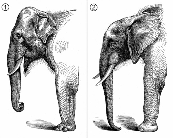 difference between African and Asian elephants