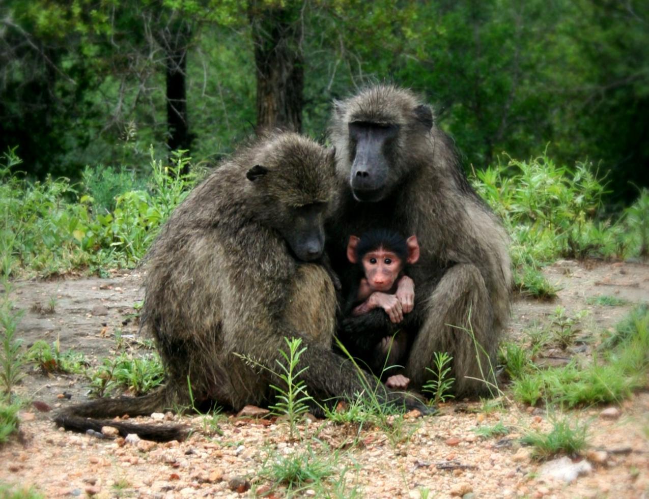 Baboon habitat