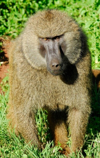 baboon behavior