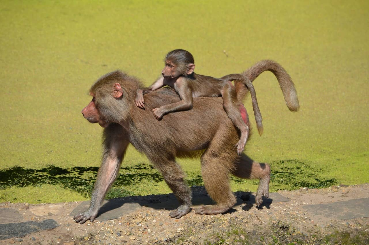 chacma baboon information