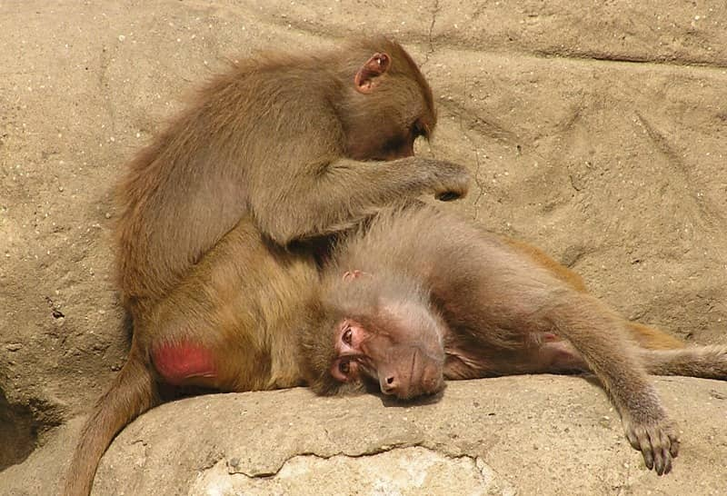 Baboons social grooming