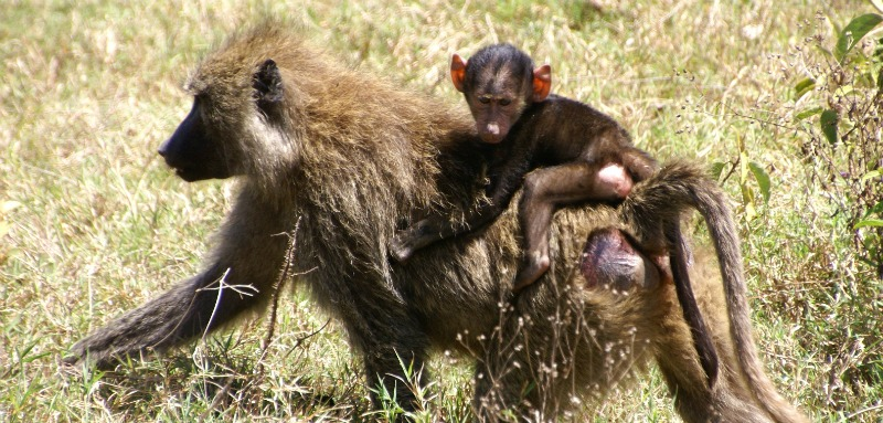 baboon reproduction