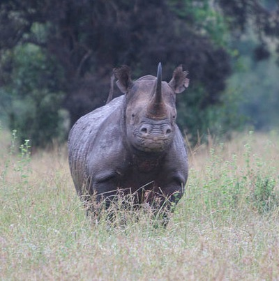 Black rhino facts
