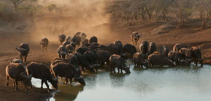 african buffalo fun facts