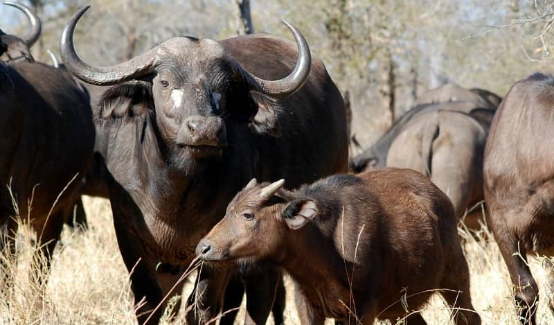 african buffalo breeding