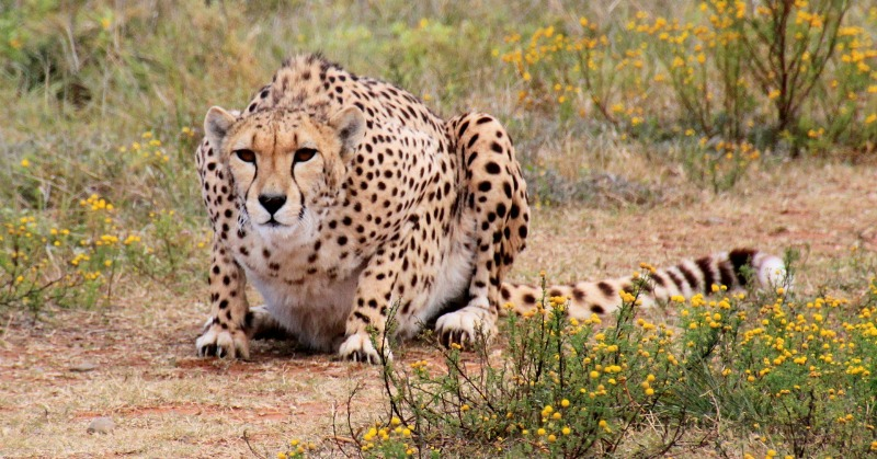cheetah behavior