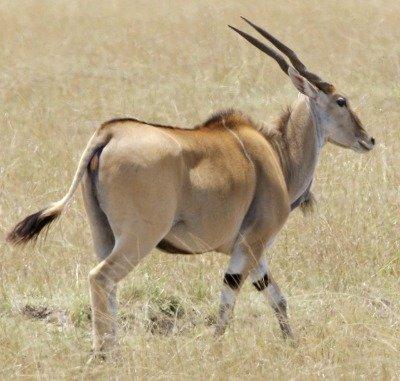 eland bull antelope