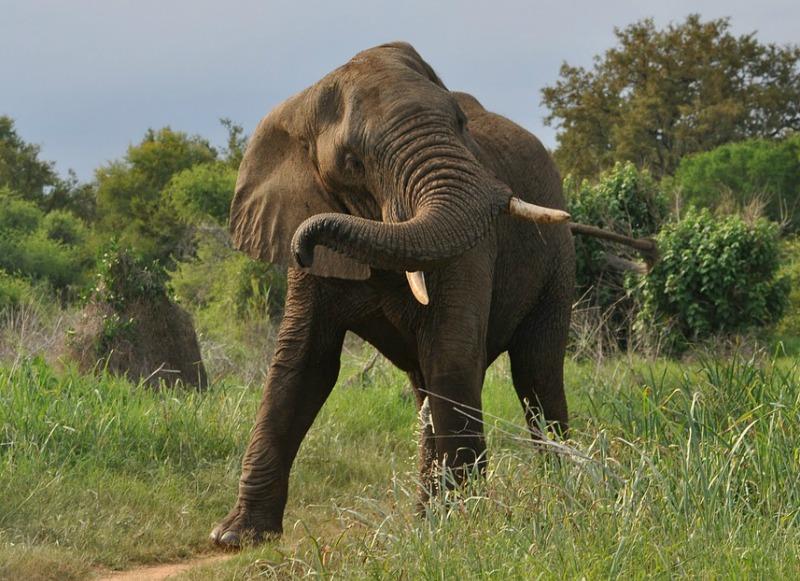 african elephant unique facts