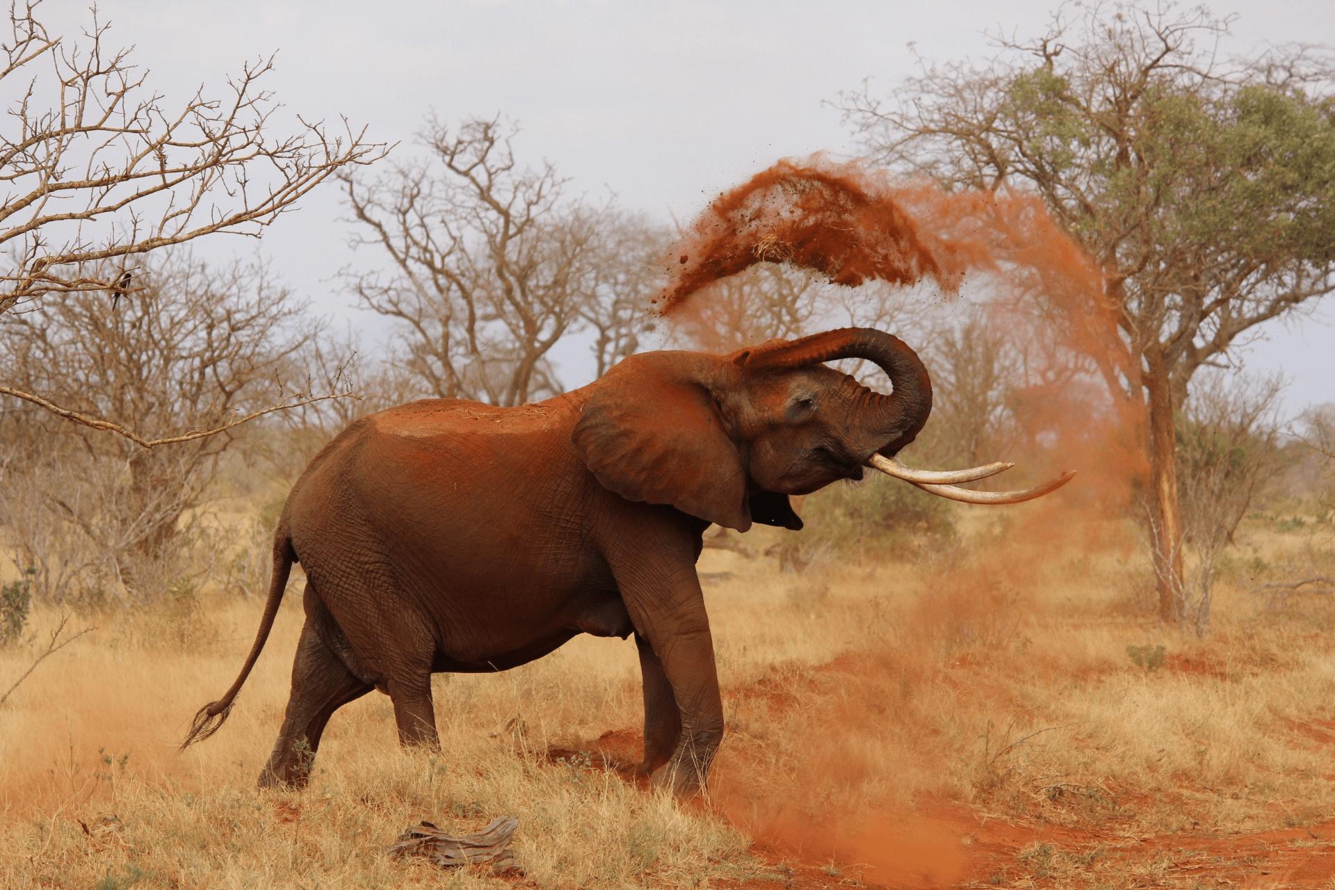 how tall is an elephant?