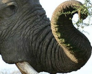 african elephant breeding facts