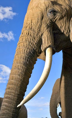 facts about elephant tuskss