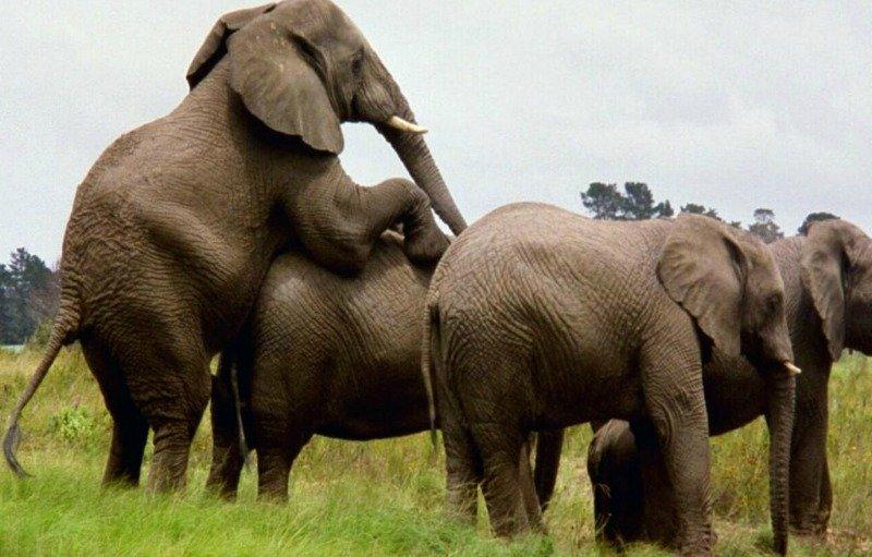 African bull elephant mating