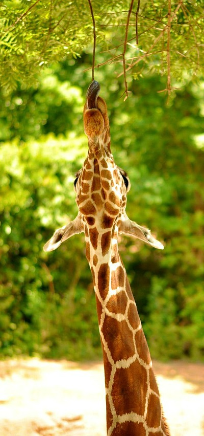 what do giraffes eat