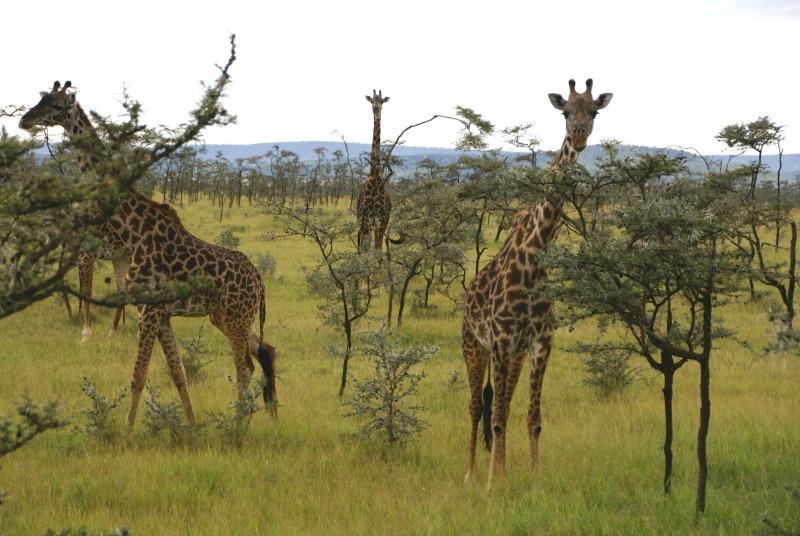 giraffe facts