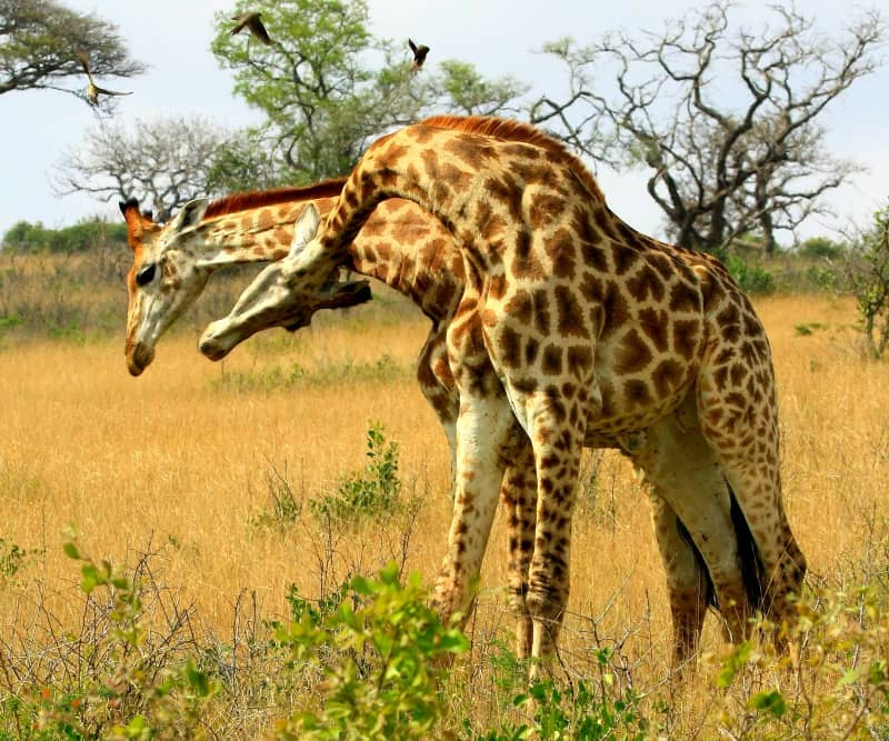 giraffe interesting facts