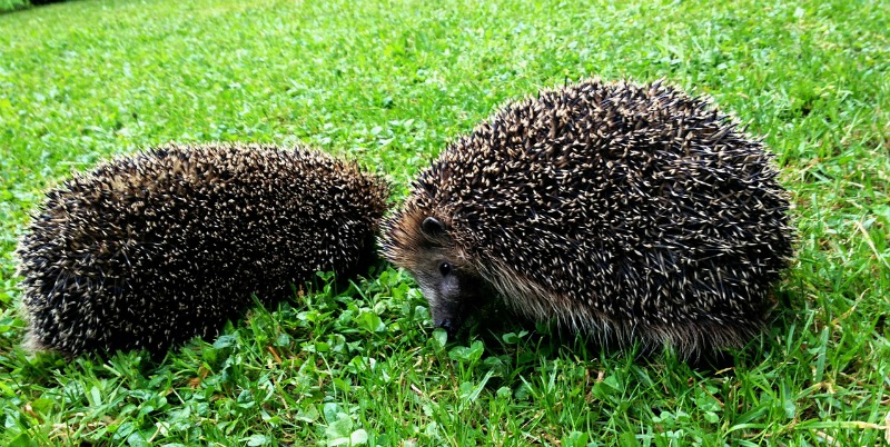 Hedgehog breeding