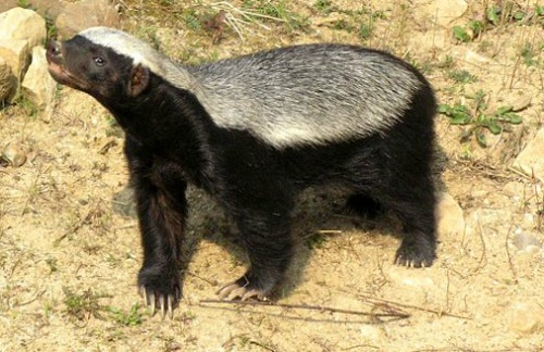 honey badger facts
