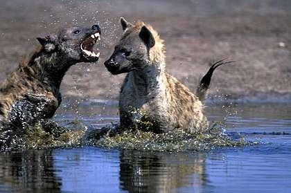 hyena habitat