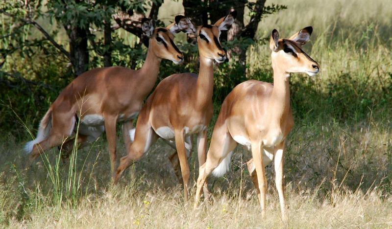 impala habitat