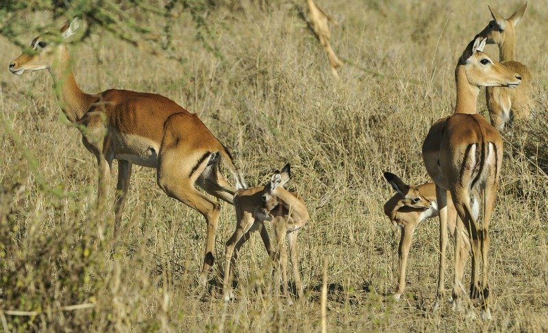 Impalas – Discover some interesting and unusual animal facts