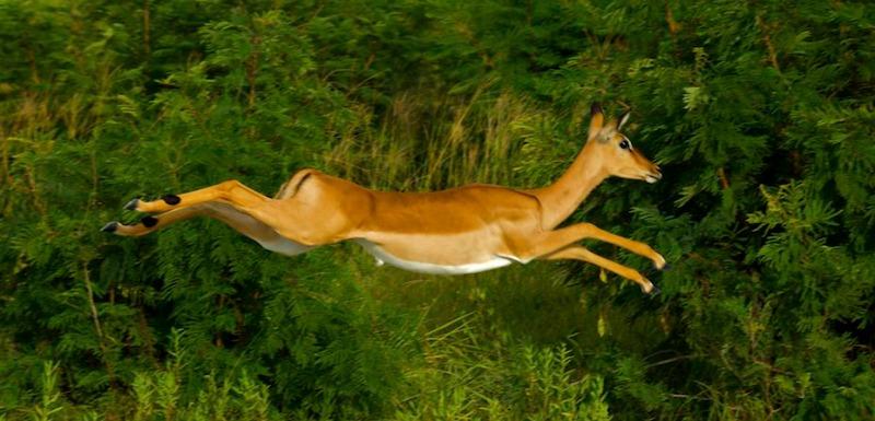 impala fleeing prey