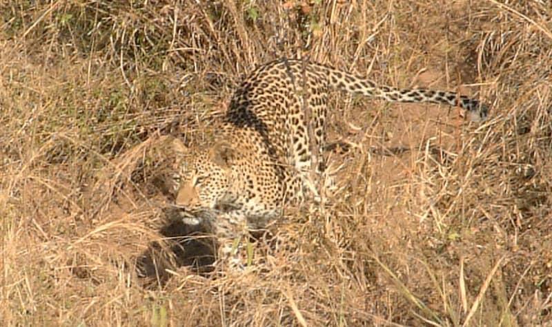 where do leopards live?
