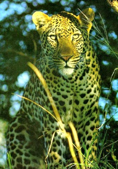 leopard habitat facts