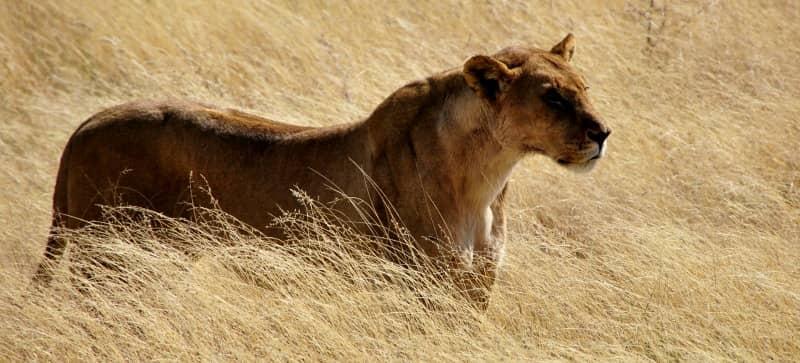 african lion habitat