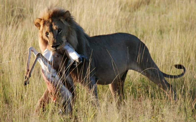 african lion male hunting prey
