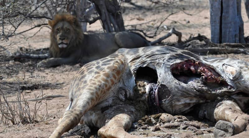 african lion hunting large prey