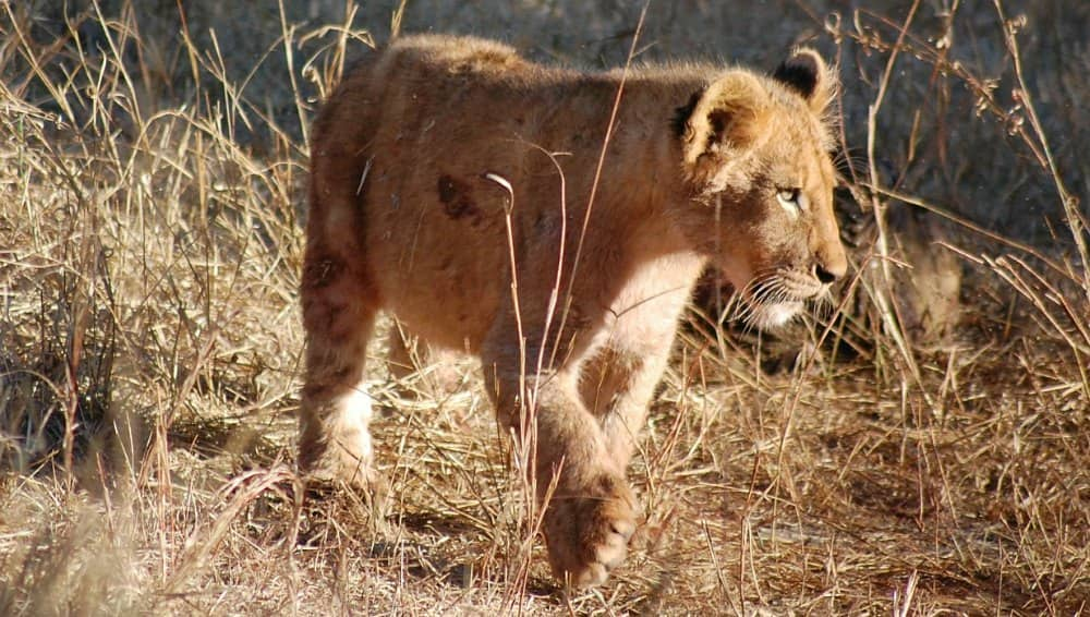 baby lion cub facts
