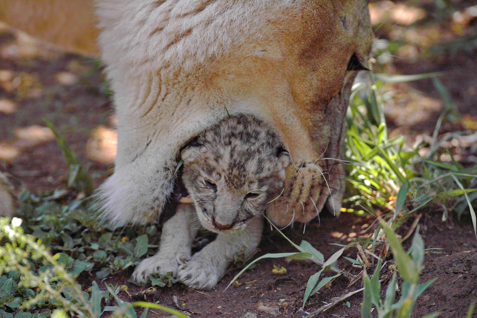 mother lion protecting her cubs