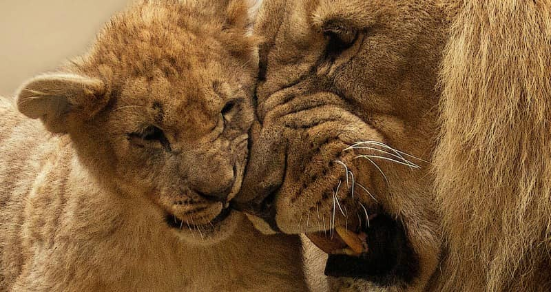 lion cubs and dad