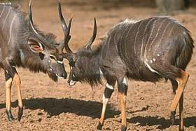 nyala bulls figthing