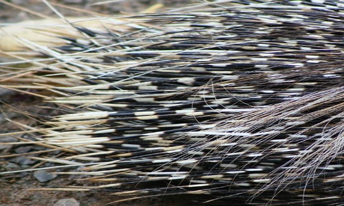 porcupine  interesting facts