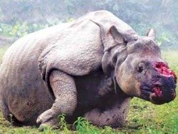 rhino poaching report