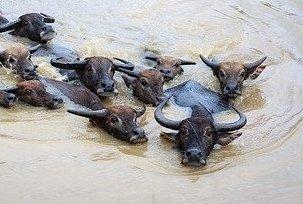 Cape buffalo vs water buffalo