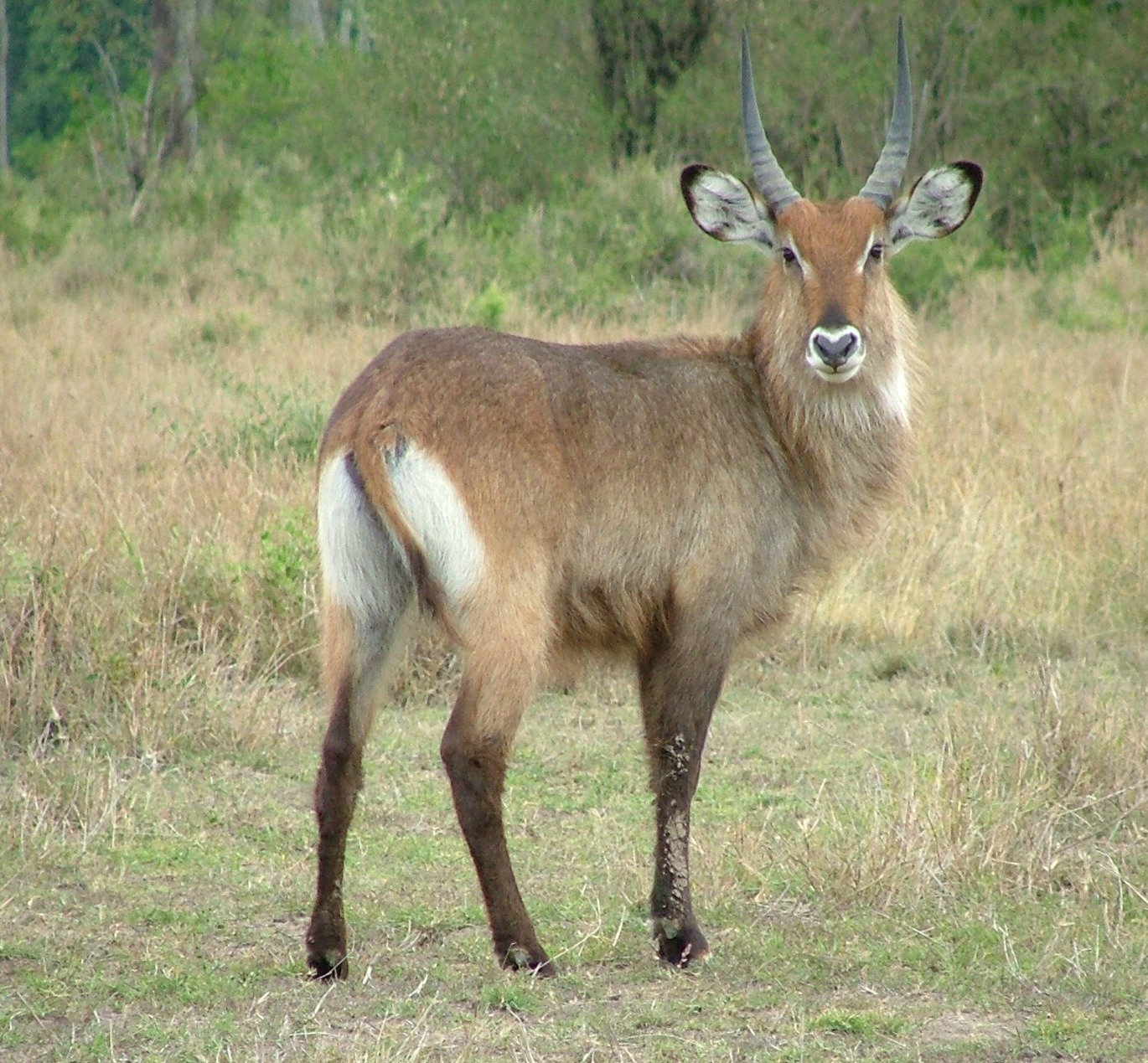 waterbuck  facts