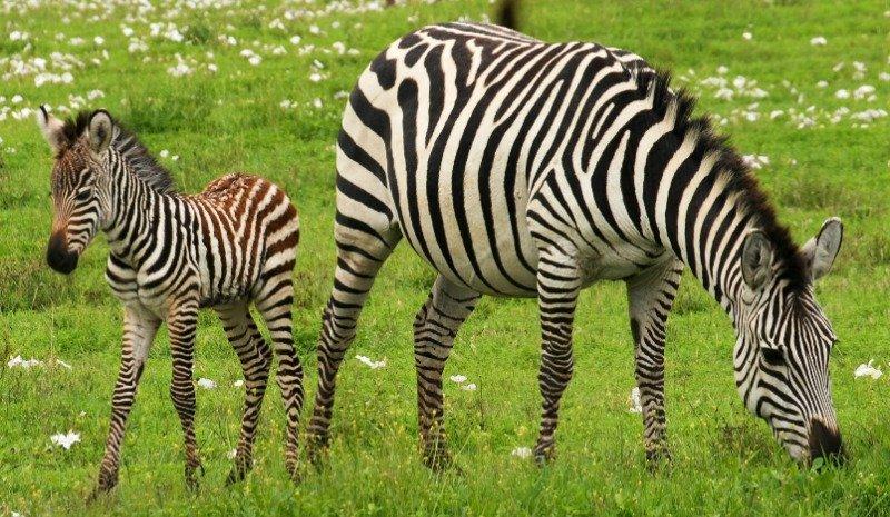 zebras mating process