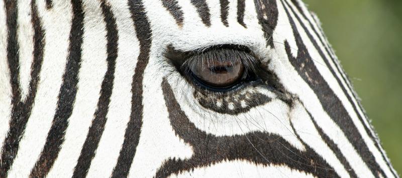 zebras physical characteristics