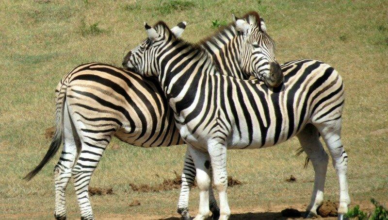 zebras pictures