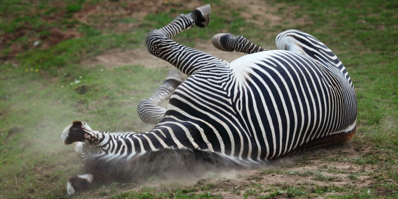 zebras fun facts