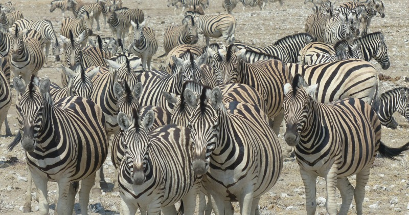 Zebra ineteresting facts