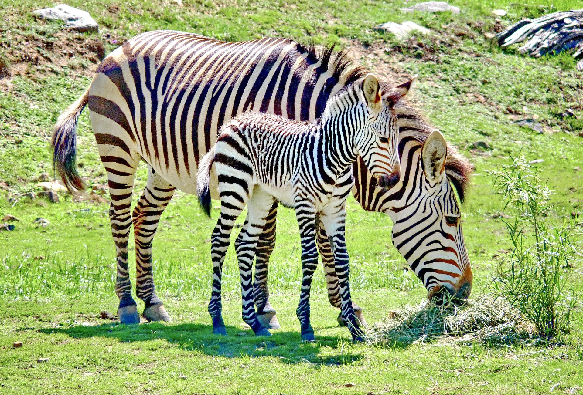 cute zebra pictures