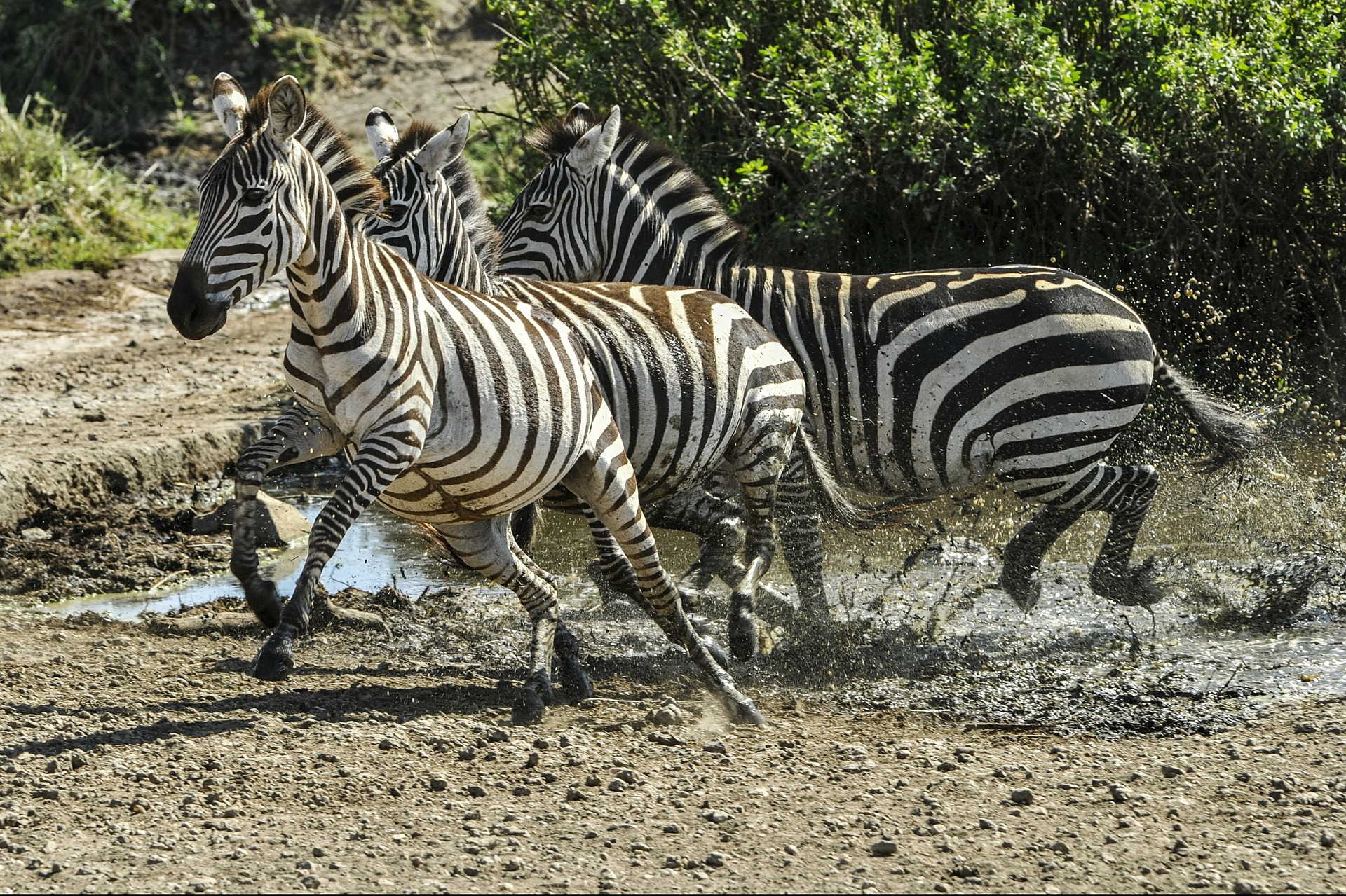can you ride a zebra?
